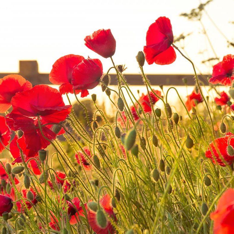 norwich-poppies